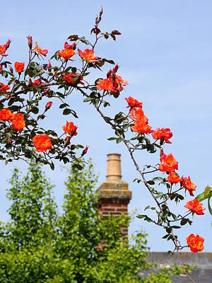 Photograph - English Rambling Rose by Richard Reeve