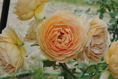 English Rose Apricot Crown Princess Margareta 2 Art Print by Robyn Stacey