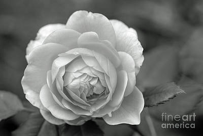 English Rose In Black And White Art Print