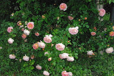 Photograph - English Rose Pink Abraham Darby Bush by Robyn Stacey