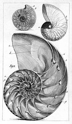 Engraving Of A Nautilus And An Ammonite Art Print by Middle Temple Library