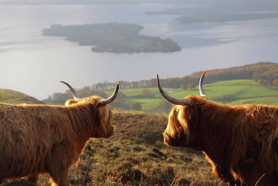 Enjoying The View - Highland Cattle Art Print