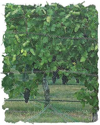 Digital Art - Enmeshed Grapevine by Ellen Barron O'Reilly