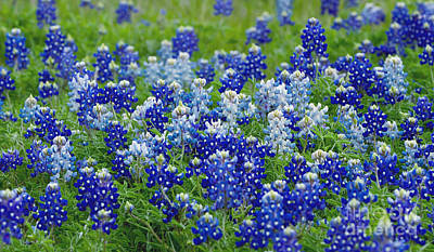 Photograph - Ennis Bluebonnets by Cathy Alba