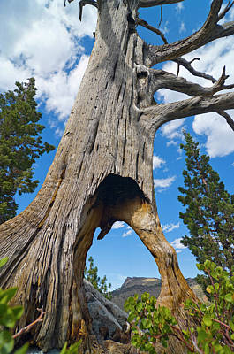 Photograph - Ent Tree On The Move by Frank Lee Hawkins Eastern Sierra Gallery