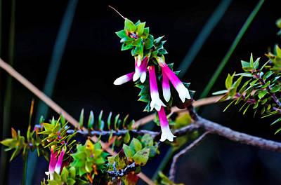 Photograph - Epacris Longiflora by Miroslava Jurcik