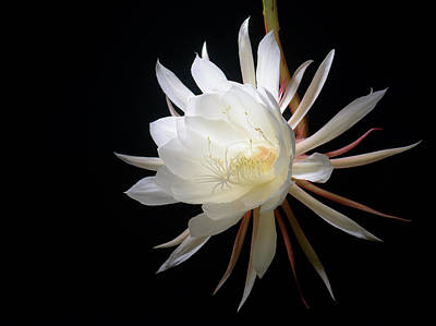 Photograph - Epiphyllum Oxypetalum Flower On Black by Alexander Kunz