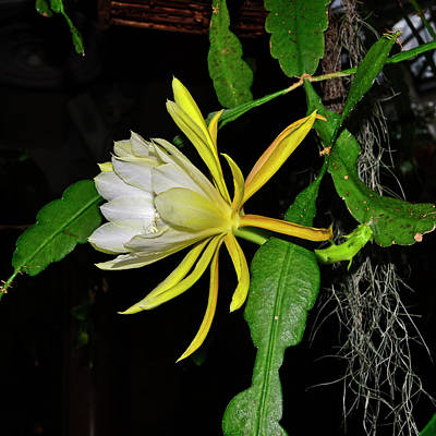 Photograph - Epiphyllum - Sonoma Sunrise 003 by George Bostian