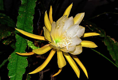 Photograph - Epiphyllum - Sonoma Sunrise 004 by George Bostian