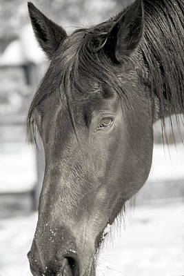Athletes Royalty-Free and Rights-Managed Images - Equine Almost Dozing Near Virginia Tech by Betsy Knapp