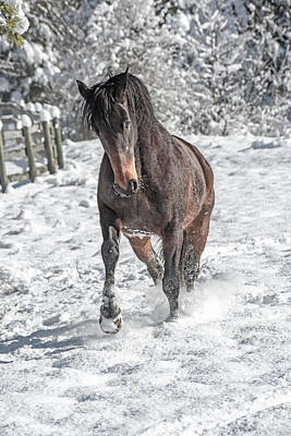 Warmblood Photograph - Equine Snowy Frolic  by Betsy Knapp