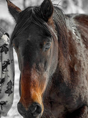 Athletes Royalty-Free and Rights-Managed Images - Equine Winter Wooly Portrait by Betsy Knapp