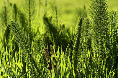 Photograph - Equisetum by Robert Potts