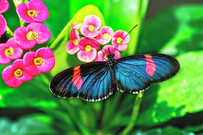 Photograph - Erato Longwing Butterfly by Kay Brewer