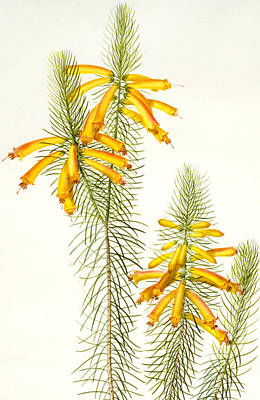 Botanical Drawing - Erica Grandiflora by Pierre Joseph Redoute