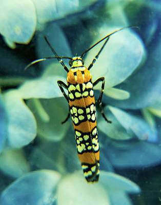 Photograph - Ermine Moth On Blue Hydrangea by Douglas Barnett