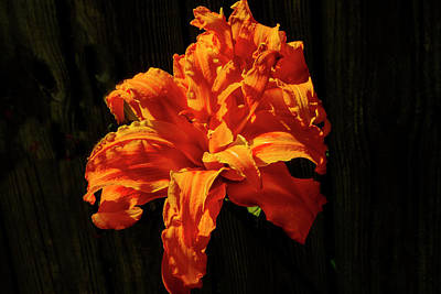 Photograph - Errupting Lily by Jeff Kurtz