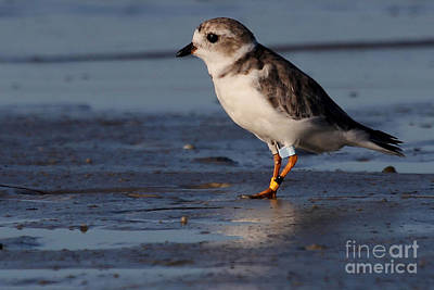 Photograph - Erwin - Piping Plover by Meg Rousher