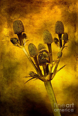 Isolated Digital Art - Eryngium Gold by John Edwards