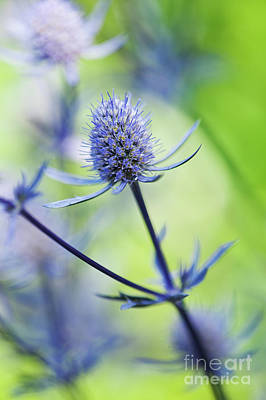 Photograph - Eryngium Jade Frost by Tim Gainey