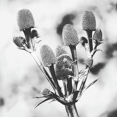 Love Photograph - Eryngium #flower #flowers by John Edwards