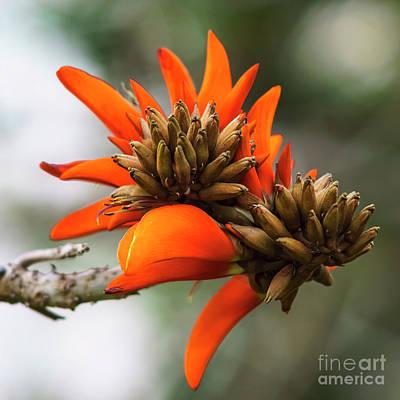 Photograph - Erythrina Caffra Flower Cadiz Spain by Pablo Avanzini