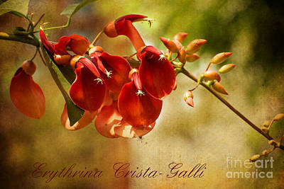 Photograph - Erythrina Crista-galli by MaryJane Armstrong