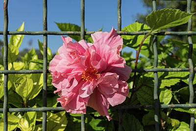 Photograph - Escape Artist - Double Hibiscus Through The Fence by Georgia Mizuleva