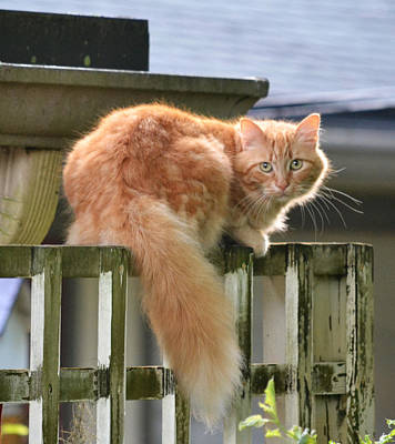 Photograph - Escapee - The Orange Tabby Cat by rd Erickson