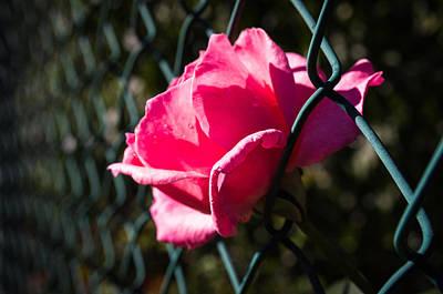Escaping Rose Art Print