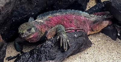 Espanola Marine Iguana Art Print by Harry Strharsky
