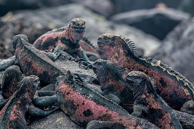 Photograph - Espanola Marine Iguanas by Harry Strharsky