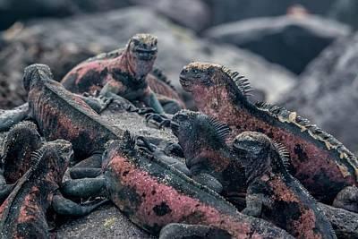Espanola Marine Iguanas Art Print by Harry Strharsky