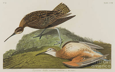 Painting - Esquimax Curlew, 1834 by John James Audubon