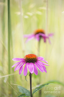 Essence Of Echinacea Art Print
