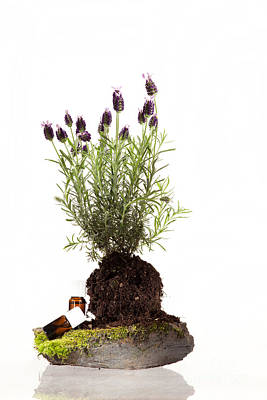 Aromatherapy Photograph - Essential Oil Of Spanish Lavender by Wolfgang Steiner