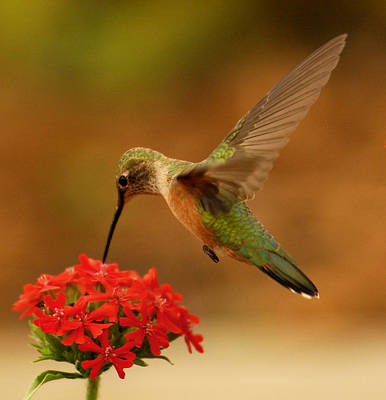 Hummingbird Photograph - Estes Park Hummng Bird by Don Wolf