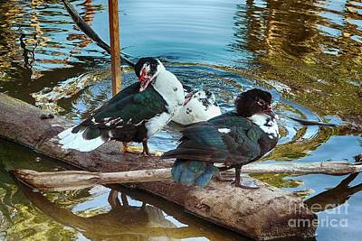Photograph - Estuary Ducks by Gerhardt Isringhaus