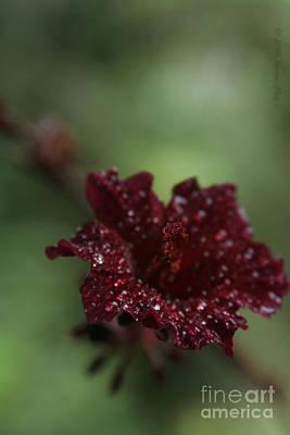Rose Of Sharon Photograph - Eternal Harmony by Sharon Mau