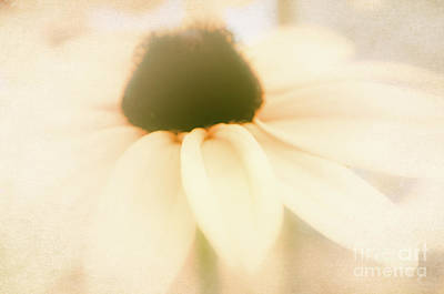 Photograph - Ethereal Black-eyed Susan  by Andrea Anderegg