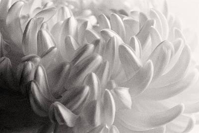 Photograph - Ethereal Chrysanthemum by Flying Z Photography by Zayne Diamond