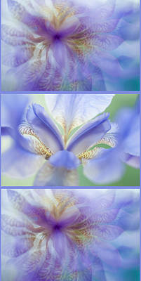 Photograph - Ethereal Life Of Iris. Vertical Triptych by Jenny Rainbow