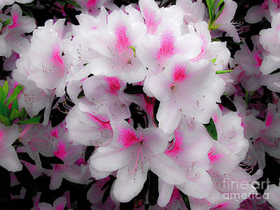 Photograph - Ethereal Looking Azaleas by Frances Ann Hattier