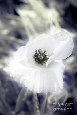 Photograph - Ethereal Poppy by Terri Waters