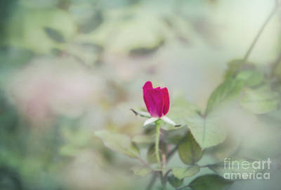 Ethereal Red Rose Bud Original by Linda Phelps