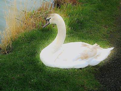 Photograph - Ethereal Swan by Richard Brookes