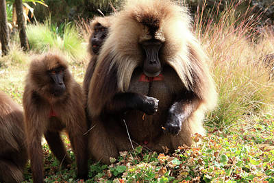 Photograph - Ethiopian Gelada Baboons by Aidan Moran