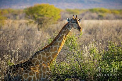 Etosha Giraffe Art Print by Inge Johnsson