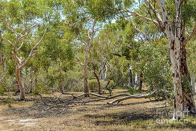 Photograph - Eucalypts 01 by Werner Padarin