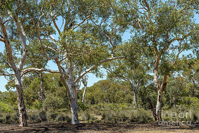 Photograph - Eucalypts 02 by Werner Padarin